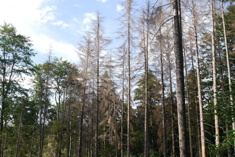 Exakt im MDR: Immer mehr Wälder werden durch Hitze, Dürre und Schädlinge zerstört.