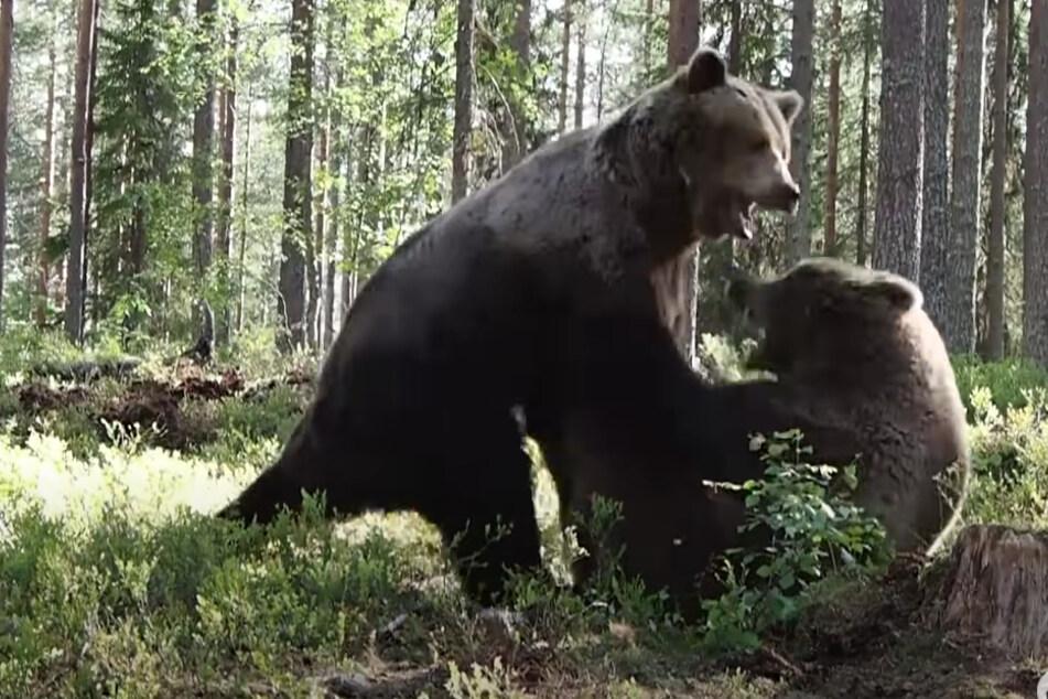Einer der beiden Bären konnte den Kampf für sich entscheiden.