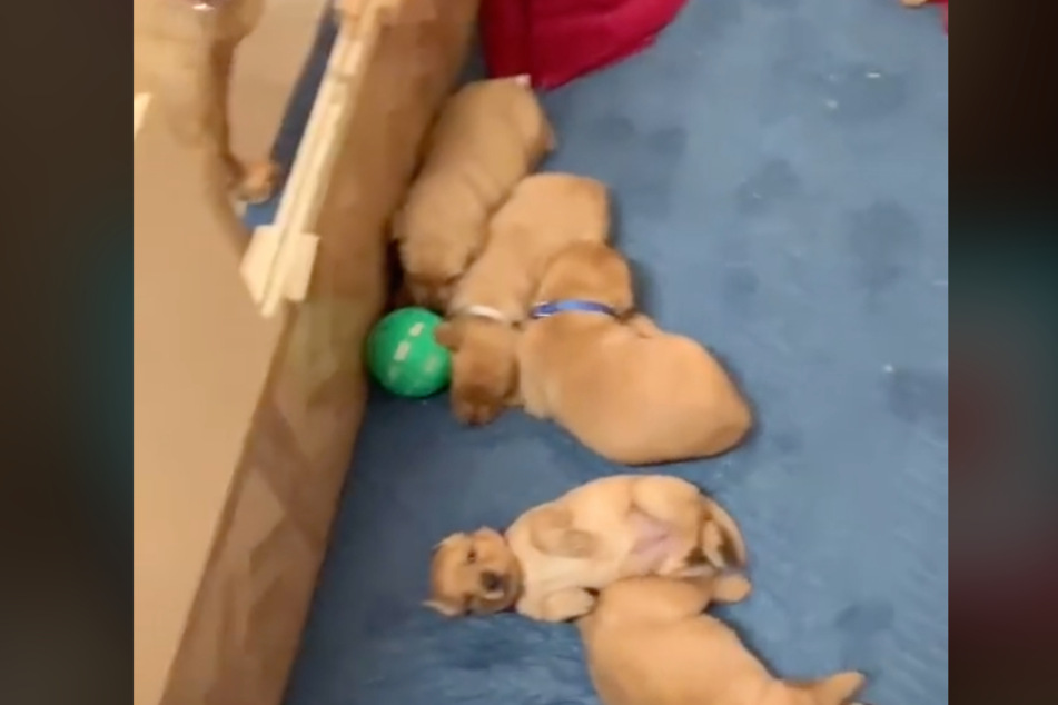 These pups aren't interested in their mom's favorite toy.
