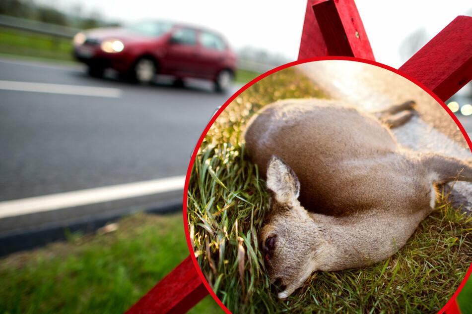 Innerhalb von 24 Stunden drei Wildunfälle: Autos krachen gegen Tiere, zwei sterben