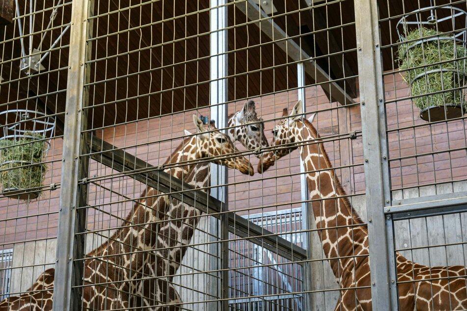 Sofort nach ihrer Ankunft nahm Nyiri (rechts) Kontakt zu den Wilhelma-Giraffen Anna (links) und Hanck auf.