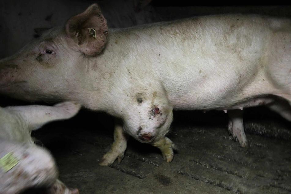 Ein großer Abszess wuchert am Bein eines Schweines.