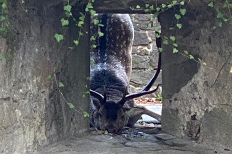 Ein Hirsch hielt Passau auf Trab.