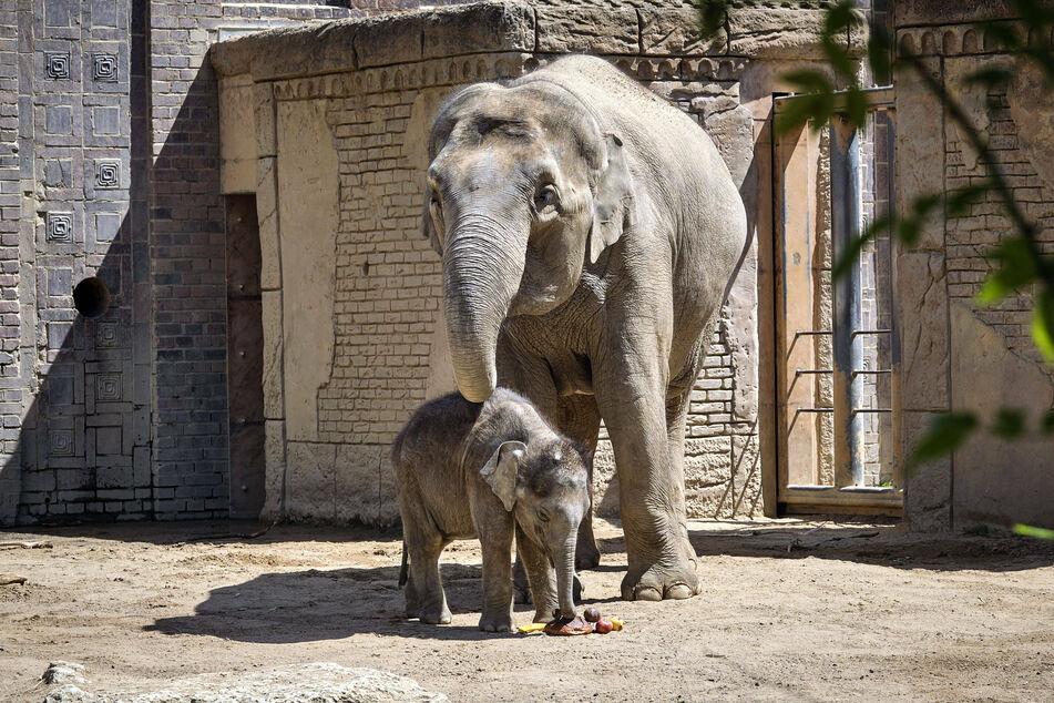 Jungbulle Kiran mit seiner Mutter Rani - sie sollen eine harmonische Herde bekommen.