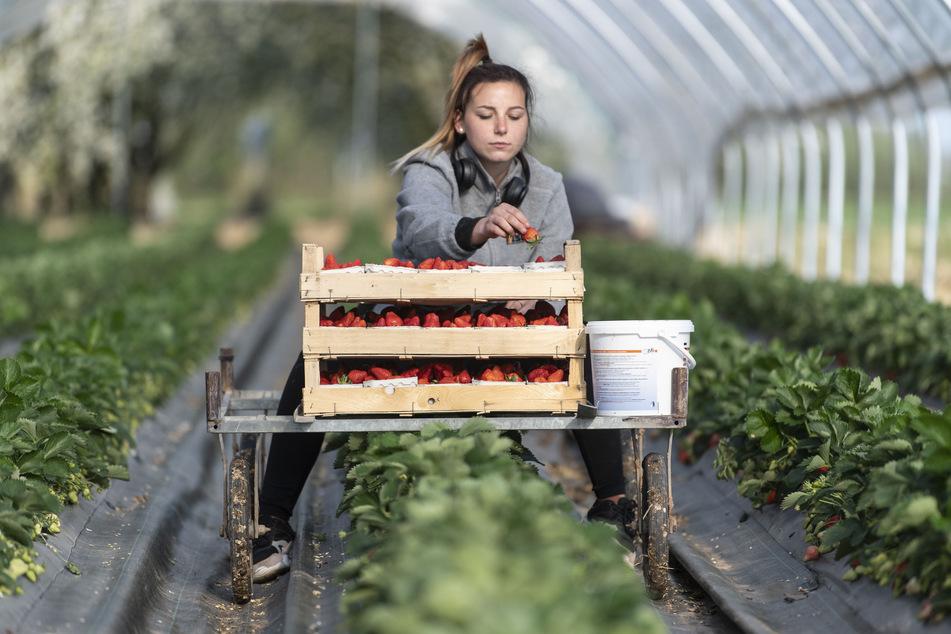 Die polnische Erntehelferin Justina pflückt in einem Folientunnel Erdbeeren.