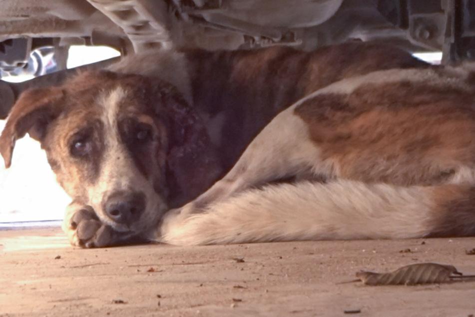 Dieser Hund hatte große Angst, als er unter einem Auto Schutz suchte.