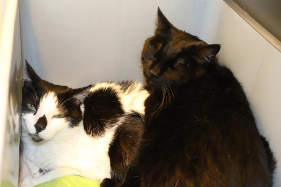 Katzenpärchen Louis und Bijou.