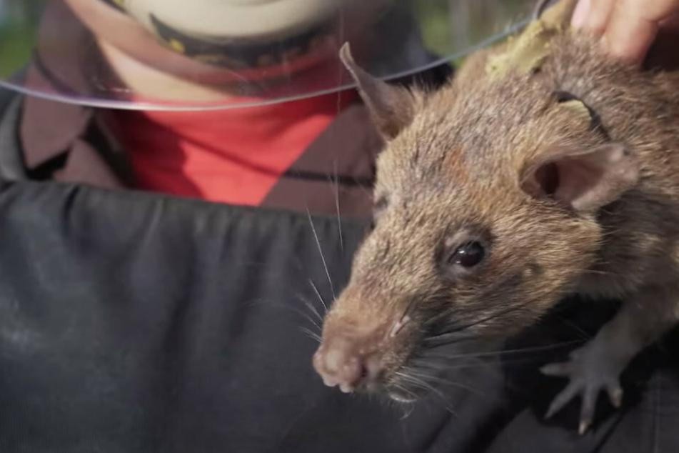 Riesige Ratte rettet zahlreiche Leben, nun erhält sie dafür eine Medaille