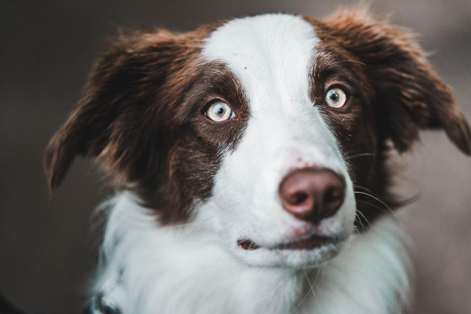 Geheimwaffe: Hund Kevin erschnüffelt für Polizei Handys und USB-Sticks