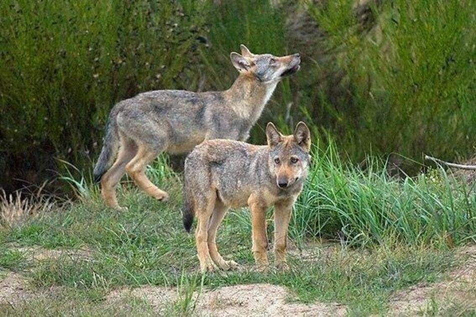 Wölfe samt Nachwuchs sind mittlerweile auch in der Heide heimisch geworden.
