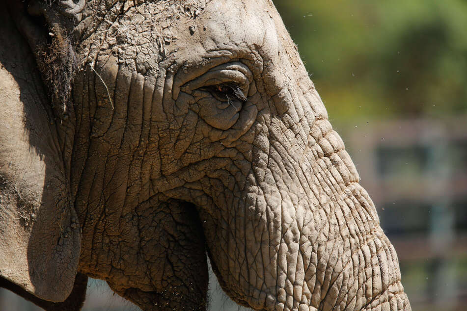 Forest elephants belong to the genus of African elephants.
