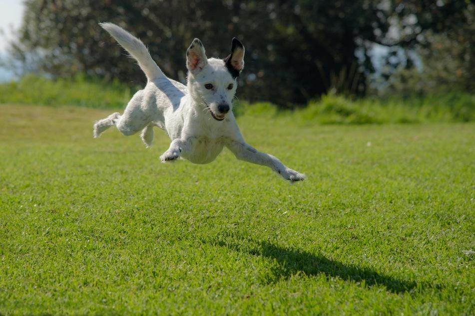 Hunde lieben es, ihre Energie beim Spielen und Herumrennen freien Lauf zu lassen.
