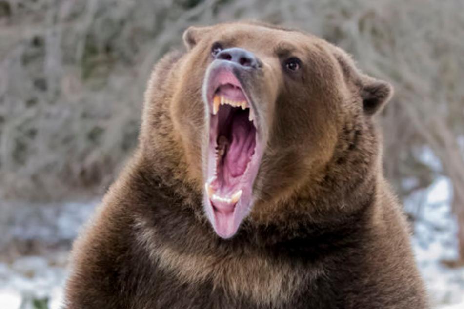 Beide Männer wurden vom Bären verletzt. (Symbolbild)