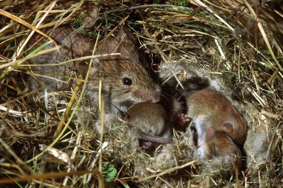 Eine Feldmaus kümmert sich in ihrem Nest um den Nachwuchs (Symbolfoto).