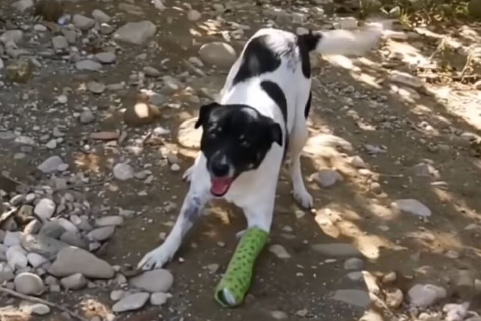 In spite of the bandage: Chris happily jumps and runs with his dog friends.