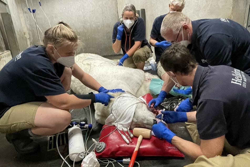 Kein einfacher Eingriff: Unter Vollnarkose wurde der Eisbärin Giovanna Ende Juni ein Zahn im Unterkiefer entfernt worden.