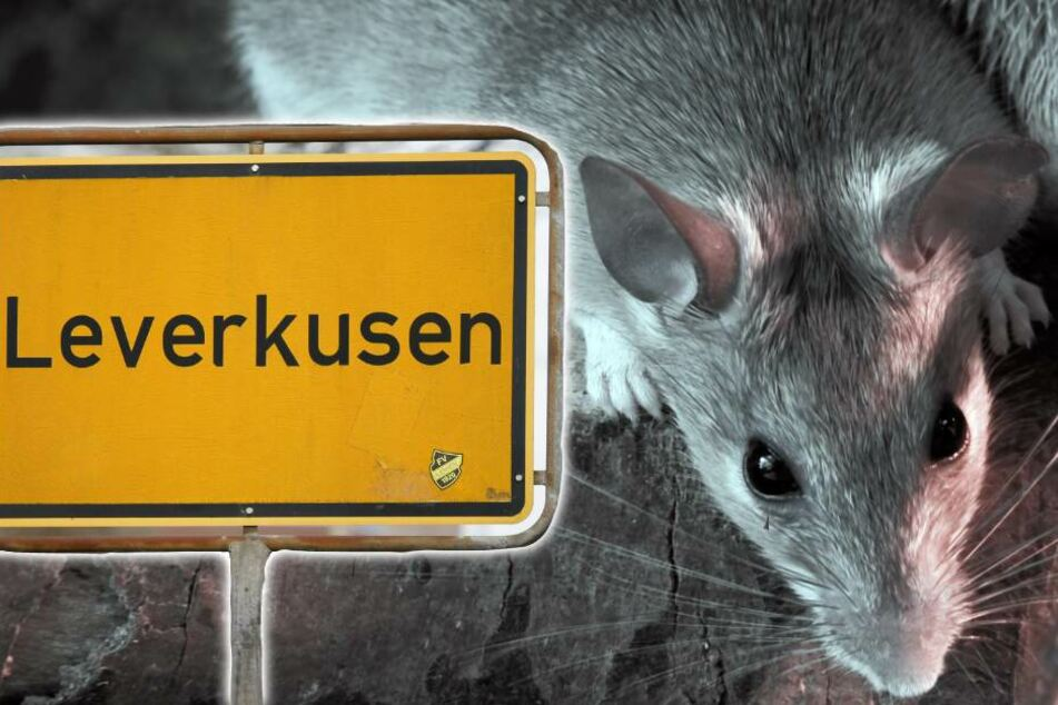 Rattenplage in Leverkusen? Stadt äußert sich zu Vorwürfen