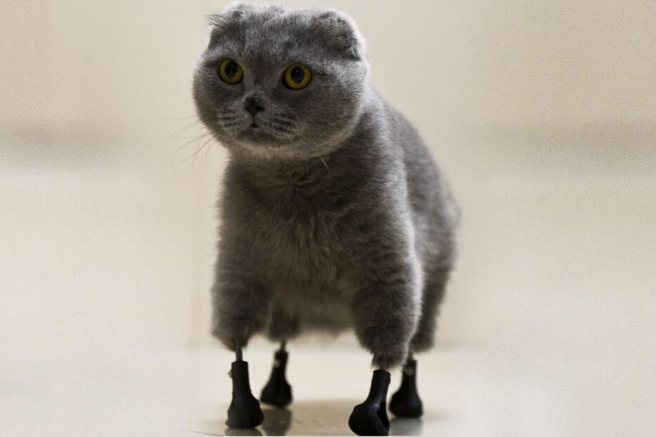 Katze Dymka hat vier Pfoten aus Titan, die in der BEST Tierklinik mit einem 3D-Drucker hergestellt wurden.