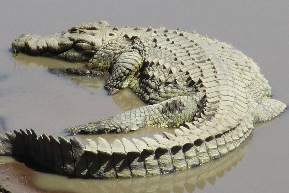 Die Siam-Krokodile stehen auf der roten Liste der vom Aussterben bedrohten Tierarten. (