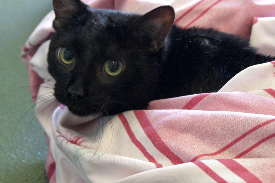 Vom Rottweiler-Terrier-Mix der Mieter fehlte jede Spur. Dafür streunte eine schwarze Katze durch die Wohnung des Paares. (Symbolbild)