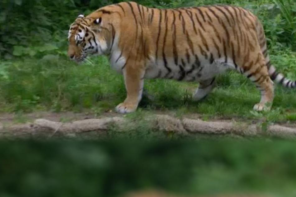 Schock für TV-Zuschauer: Wieso ist dieser Tiger im Leipziger Zoo so dick?