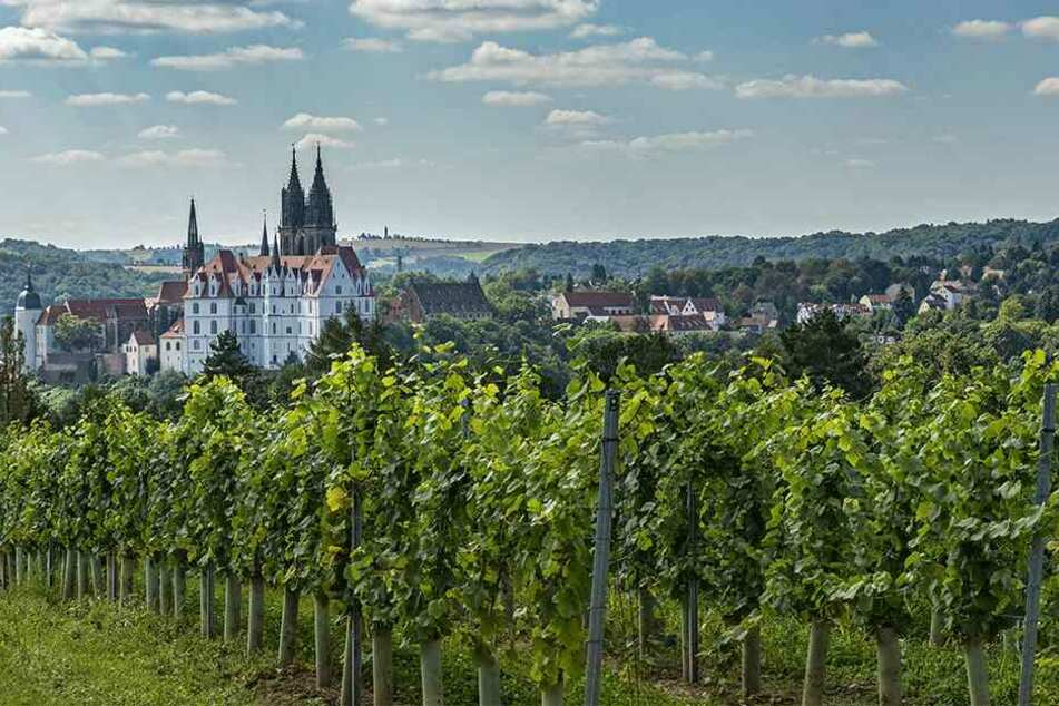 """Imposanter Blick von den rechtselbischen Rebzeilen auf die Albrechtsburg. Die meisten Weinflächen hier gehören Prinz zur Lippe, er verpachtet an die neue """"Weingesellschaft Meißen""""."""