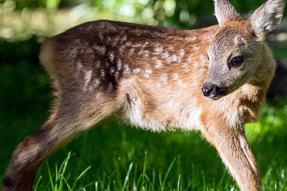 So lebendig war ein Kitz nicht, als ein Jäger es in einem Borchener Wald fand. (Symbolbild)