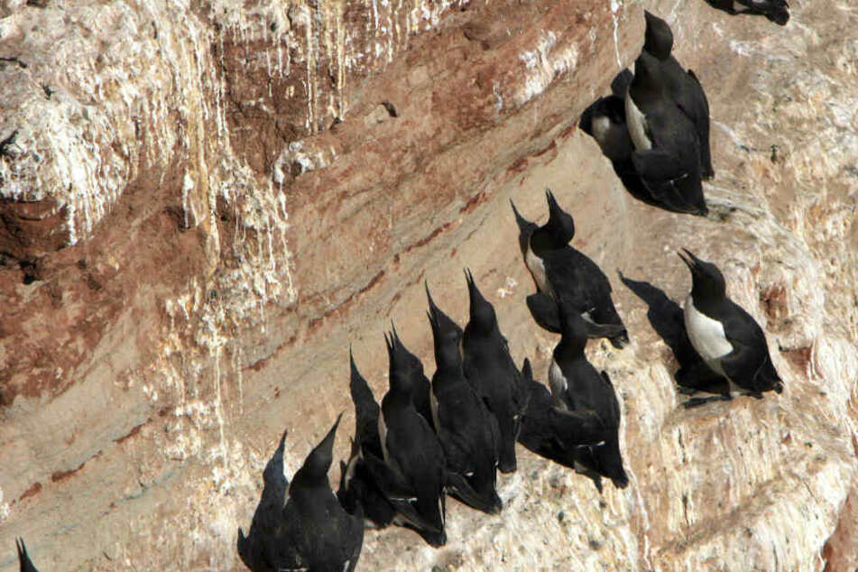 Trottellummen krallen sich auf dem Helgoländer Lummenfelsen in die Wand. (Archivbild)