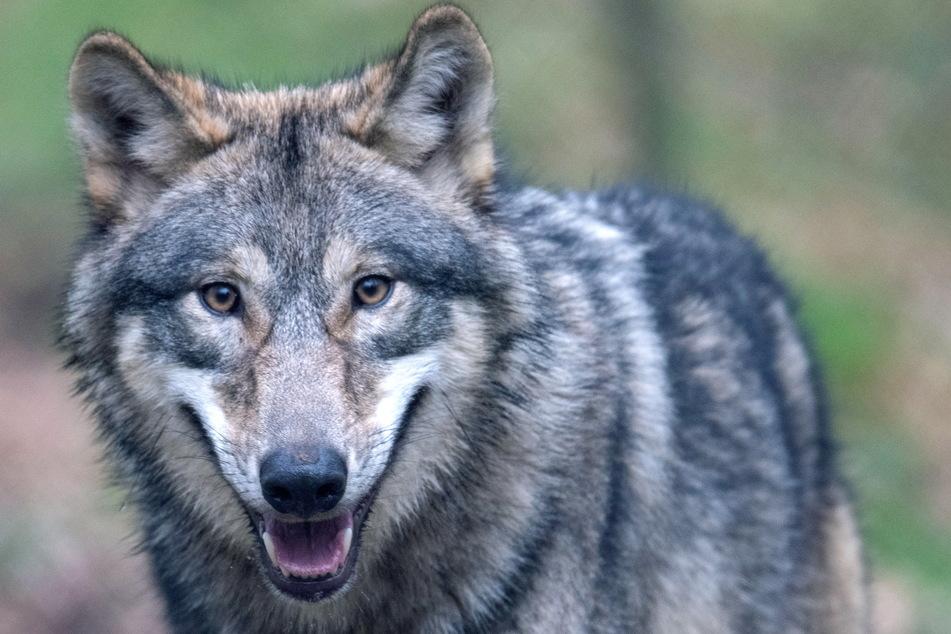 Wölfe aus Tschechien jagen regelmäßig im Raum Marienberg.