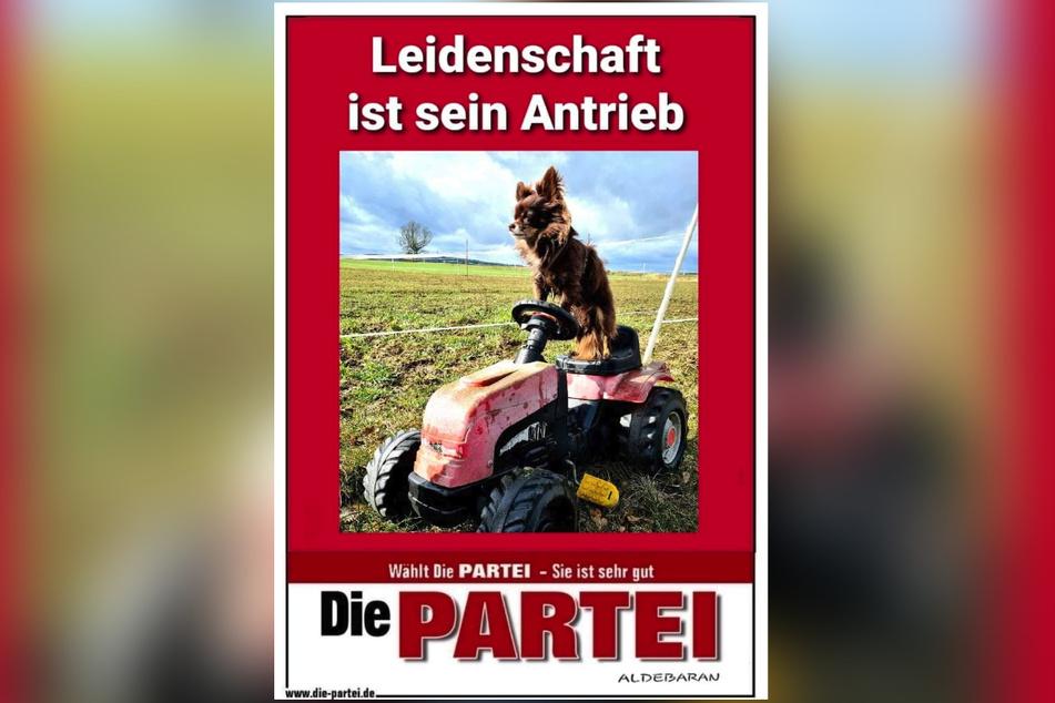"""Wau! Chihuahua """"Rüdiger von der Leine"""" (5, Die Partei) will als Stadtchef ins Plauener Rathaus."""