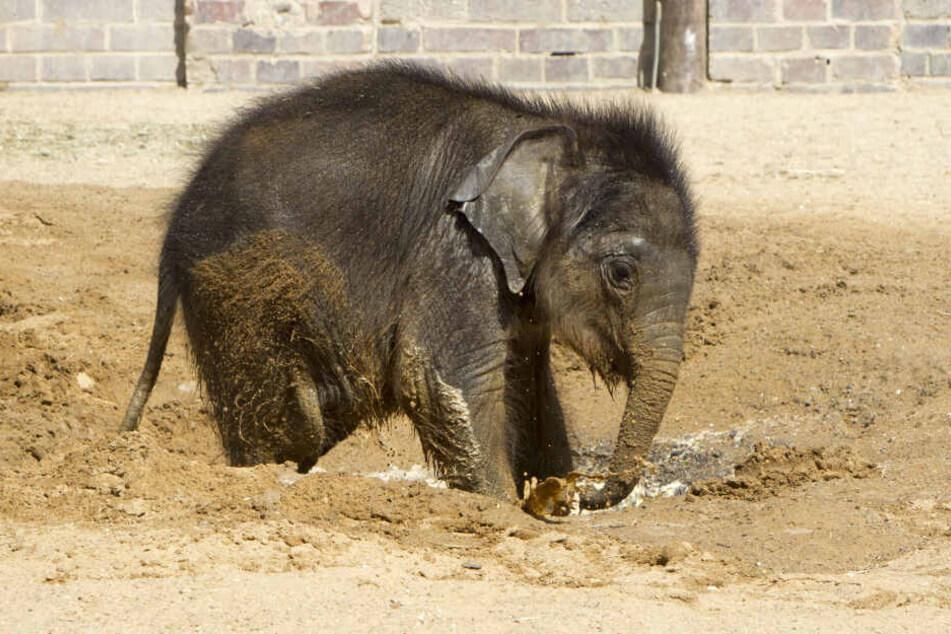 Der kleien Elefantenbulle ist zurzeit DIE Attraktion im Leipziger Zoo. Nach wochenlangen Komplikationen entwickelt sich das Junge immer besser.