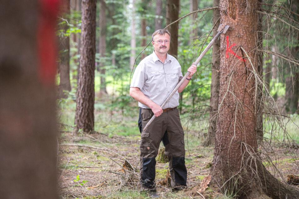 K wie Käfer: Alle befallenen Fichten im Bielatal sind mit einem K bezeichnet. Mit einem Rindeneisen tritt Revierleiter Bernd Kaiser (59) den Beweis an.