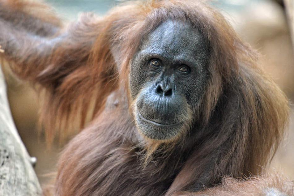 Das Weibchen, Djambi, wurde 58 Jahre alt.