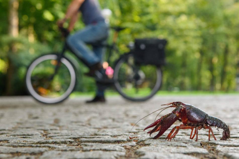 Ein Fahrradfahrer beobachtet im Berliner Tiergarten einen roten amerikanischen Sumpfkrebs (Procambarus clarkii) auf einem Fußgängerweg.