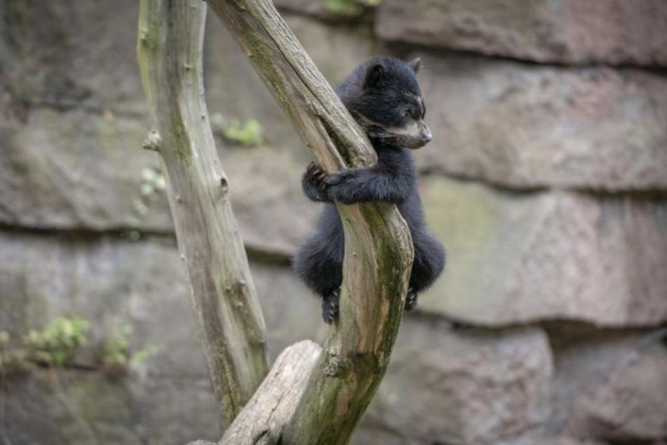 Der Kleine klettert schon wie ein Weltmeister.