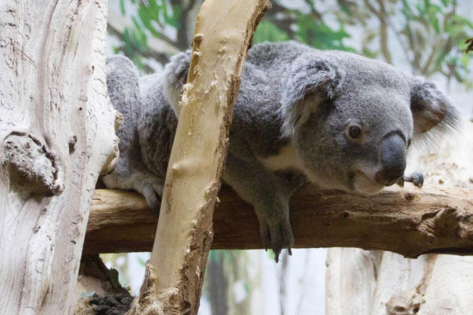 Neuer Koala in Zoo Leipzig angekommen: Trotzdem wird es so bald keinen Nachwuchs geben