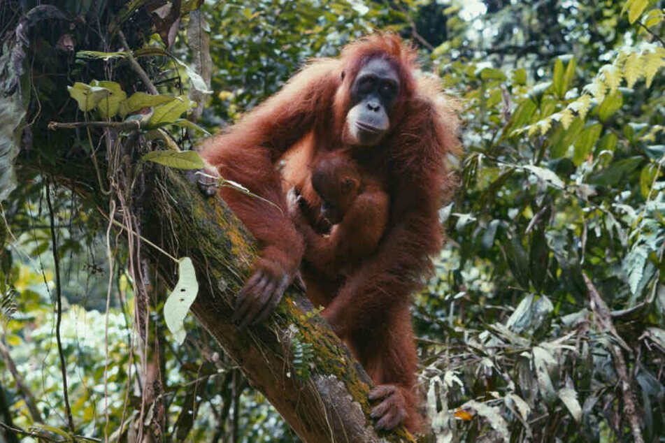 Die Orang-Utans sind stark vom Aussterben bedroht. Schuld daran ist hauptsächlich die zunehmende Wald-Rodung für Palmöl-Plantagen.