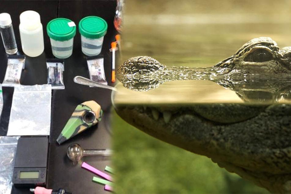 Was können Drogen bei Alligatoren wirklich anrichten?