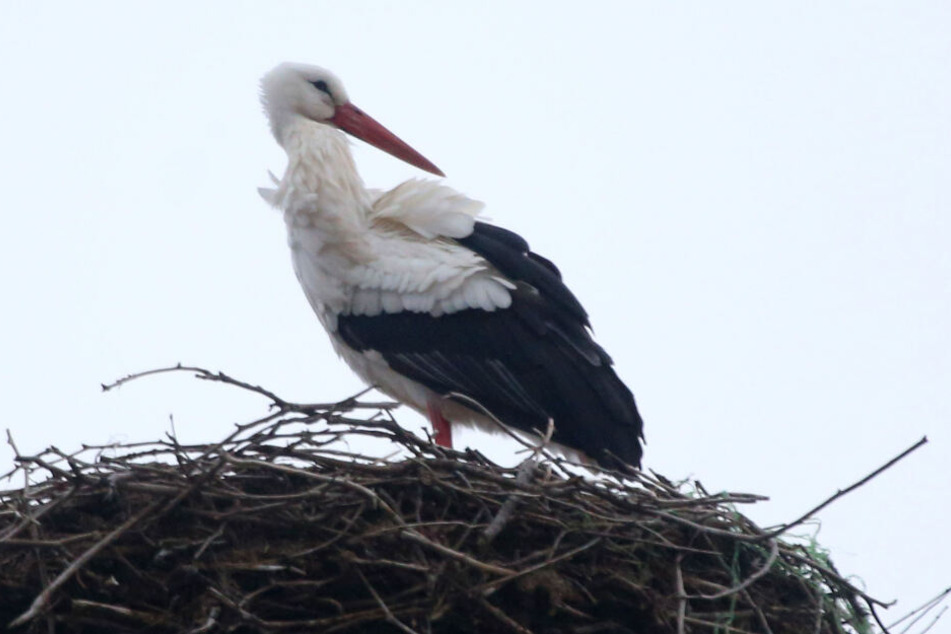 In Glauchau ist schon der erste Storch angekommen.