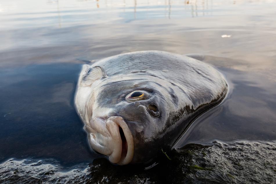 Rätselhaftes Fischsterben an Nordseeküste: Naturschützer haben Verdacht