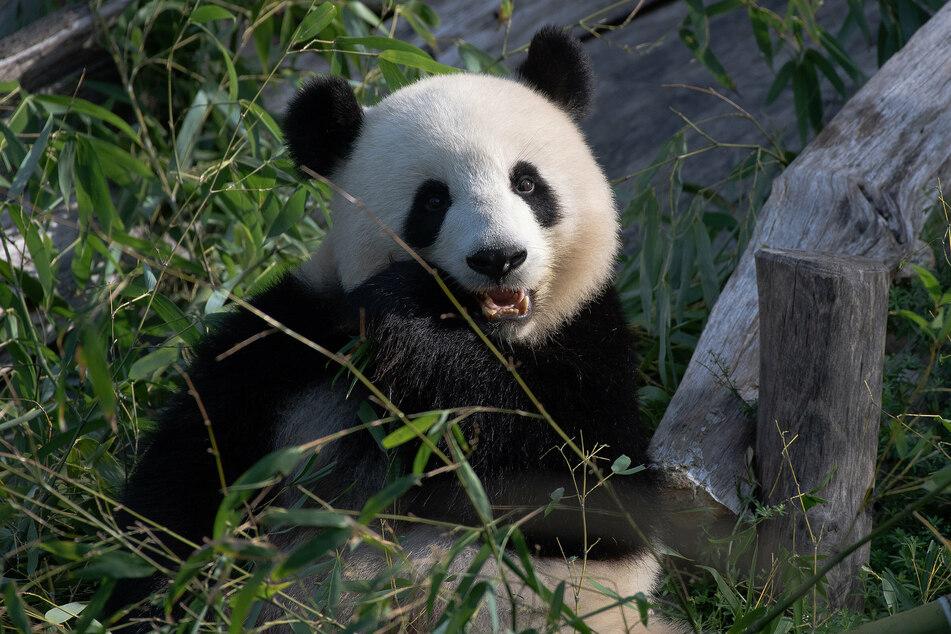 Panda-Dame Meng Meng wurde am Samstag acht Jahre alt.