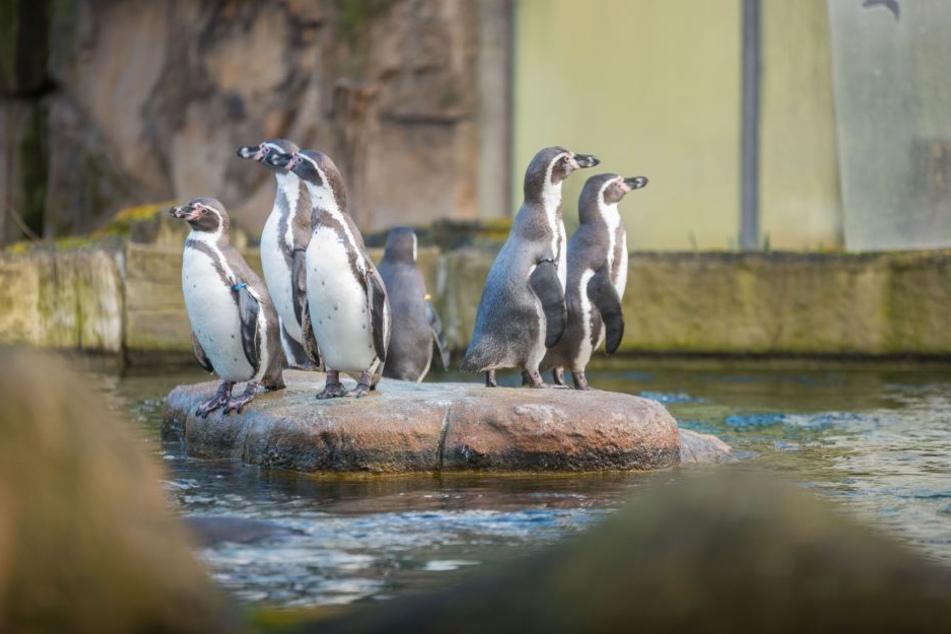 Die neuen Pinguine und die bereits vorhandenen Pinguine haben sich schnell eingelebt.