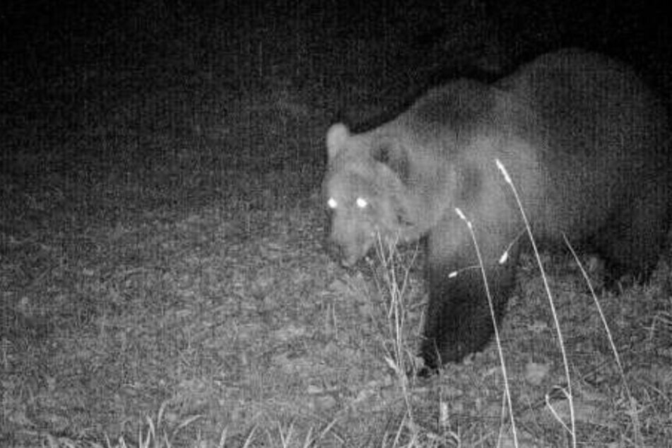 Winterruhe oder Abwanderung: Wo ist der Bär?