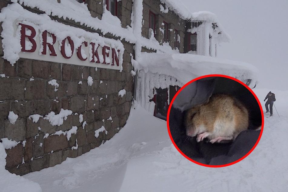 """""""Die friert doch!"""" Winzige Maus auf Brocken vorm Kältetod gerettet!"""