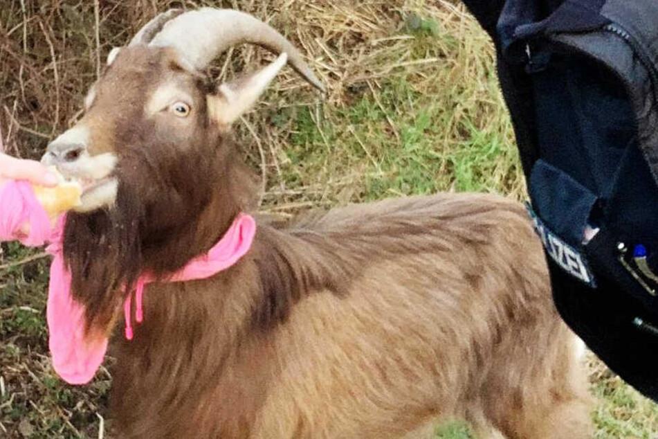 Das Foto zeigt Gustav mit einem pinkfarbenen Schal oder Tuch um den Hals.