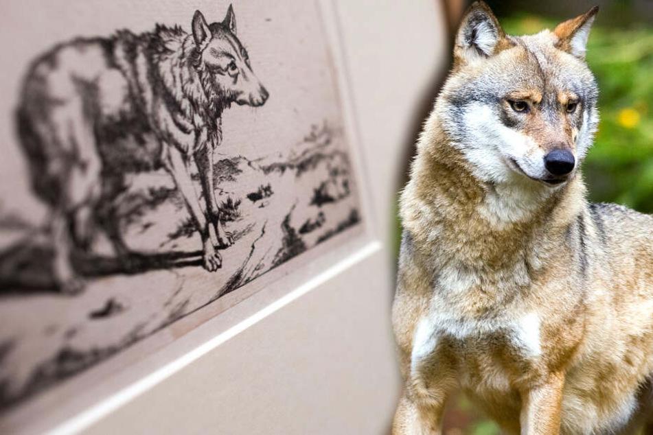 Wölfe hängen mitten in Köln rum! Böse oder süß?