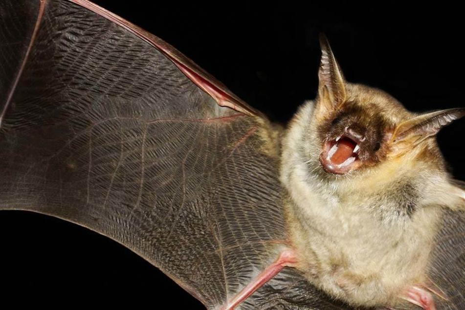 Mehr als 200.000 Fledermäuse seien über Charters Towers im Nordosten des Kontinents hergefallen.