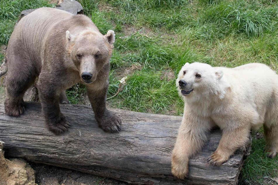 Tips (hell) und ihr Bruder Taps waren ein Highlight im Osnabrücker Zoo.