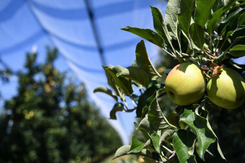 Die Anbauer erwarten dieses Jahr eine durchschnittliche Ernte. (Symbolbild)