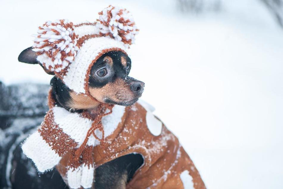 Bei halbnackten Züchtungen hilt tatsächlich Winterkleidung gegen das Frieren.